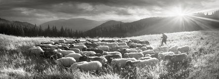 Black and white photo of sheep Royalty Free Stock Photography