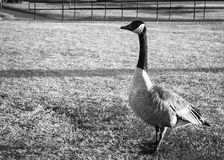 Black and white photo of a single Canadian goose. At the park with railing behind it royalty free stock image