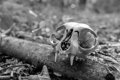 Black and white photo of the skulls of cats. Wild nature forest Stock Image