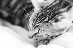 Black and white photo of a sleepy, beautiful cat Royalty Free Stock Images