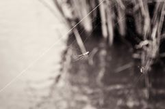 Black and white photo of a spiderweb on a bridge with a spider hanging from it. Black and white photo of a spider hanging from spiderweb on a bridge over water Royalty Free Stock Photography