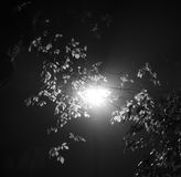 Black and white photo of a street light shining from behind leafy tree brunches at night Royalty Free Stock Images