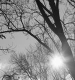 Black and white photo of a sun shining through the barren trees at the beginning of spring.  Royalty Free Stock Photo
