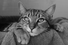 Black and white photo of a tabby cat Stock Image