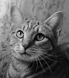 Black and white photo of a tabby cat Stock Images