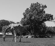 Black and white photo of a tall giraffe eating grass at the zoo in the summer Stock Photos