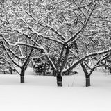 Black and White Photo of three similar trees in Winter. With deep snow around the floor and the branches Royalty Free Stock Image