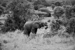 Black and white photo to Grazing Elephant. Young male elephant grazing in Tarangire, Tanzania royalty free stock photography