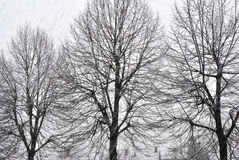 Black and white photo of the trees in winter time. Snowfall Royalty Free Stock Photo
