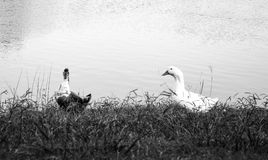 Black and white photo of two ducks beside a lake. Black and white photo of two ducks on grass by a lake in the summer royalty free stock photography