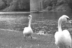 A black and white photo of two swans with cygnets. stock photos