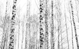 Black-and-white photo with white birches Stock Image