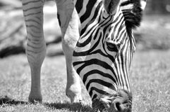 Black and white photo with zebra enjoy eating. Too soft focus Royalty Free Stock Image