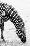 Black and white photo of zebra Stock Image
