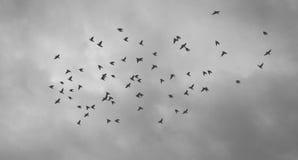 Birds. Black & White photograph of birds in the sky Stock Image