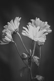 Black and White Photograph of Daisies Stock Image