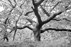 Black and white photograph of a giant oak tree Stock Photo