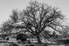 Black and white photograph of a giant tree on a sunny morning and sunstar among the branches royalty free stock images