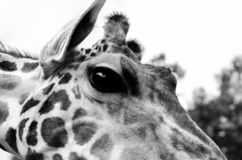 Here is looking at you!. Black and White Photograph of a Giraffe moving in to get a closer look at me stock photo