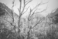 Black and white photograph of light branches of trees. Shevelev. Black and white photograph of light branches of trees. Mountains and forests in the background Royalty Free Stock Photography