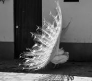 Portrait of a white peafowl. Black and white photograph of a white peacock showing the splendorous tail royalty free stock photography