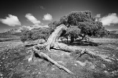 Black and White photograph of a singular pine tree at national park of Sierra Maria-Los Velez, south of Spain Stock Image