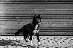 Guard dog. Black and white photography of an Attentive an curious dog portrait against wooden background Royalty Free Stock Photo