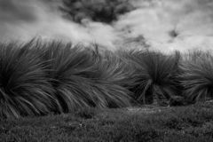 Black and white photography of Coastal Tussock Grass in wind. Strong wind in tussock grass with menacing clouds in the background that anticipate a thunderstorm royalty free stock photo