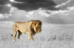 Black and white photography with color lion. Lion in the grass of Masai Mara, Kenya. Black and white photography with color lion stock image