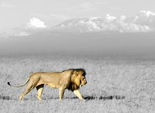 Black and white photography with color lion. Lion in the grass of Masai Mara, Kenya. Black and white photography with color lion stock photo