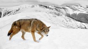 Black and white photography with color wolf Royalty Free Stock Image