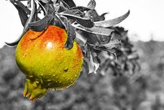 Black and white photography - wet pomegranate on the tree Royalty Free Stock Image