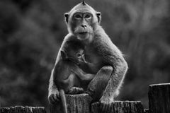 Black and white photography of wild monkey and kid Stock Images