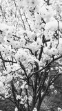 Cherry blossom tree. Black and white pic of cherry blossom tree royalty free stock photography