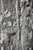 Black and white pictue of plane tree bark. Stock Photos