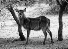 Black and White Picture of Alert Waterbuck Listening Royalty Free Stock Photos