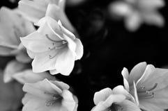Azaleas Royalty Free Stock Image