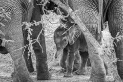 Black and white picture of a baby Elephant in between the legs of his mother. Black and white picture of a baby Elephant in between the legs of his mother in stock image