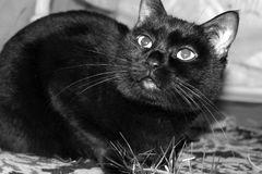 Black and white picture of a black cat. With long mustaches and large eyes royalty free stock photos