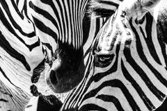 Black and white picture close up zebra& x27;s face Stock Images