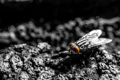 Black and white picture of the cluster fly stand on the ground Stock Photo