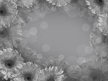 White gerbera on a gray background. Stock Photos