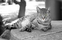 Black-and-white picture of lying tabby with colorized eyes and muzzle.  royalty free stock image