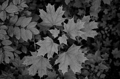 Black and white picture of still-life with leafs Royalty Free Stock Images