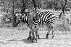 Black and White Picture of Two Zebras Standing in T-Shape Stock Photo