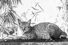 Black and white pictures of beautiful striped cats lying on the fence. In thailand royalty free stock photo