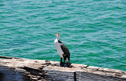 Black and White Pied Cormorant. Large black and white Australian Pied Cormorant with a direct gaze standing on a wooden jetty structure with the turquoise-green Stock Photography