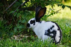 Black and white pied hare Royalty Free Stock Photography