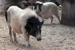 Black and white pig Royalty Free Stock Images