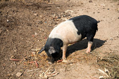 Black and white pig. A black and white pig feeds on corn Stock Photography